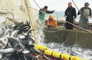 Рыболовство и рыборазведение -  наиболее перспективные сферы совместной российско-японской деятельности  на южных Курилах.