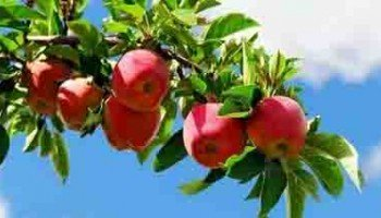 И на Сахалине такие яблоки вырастут?